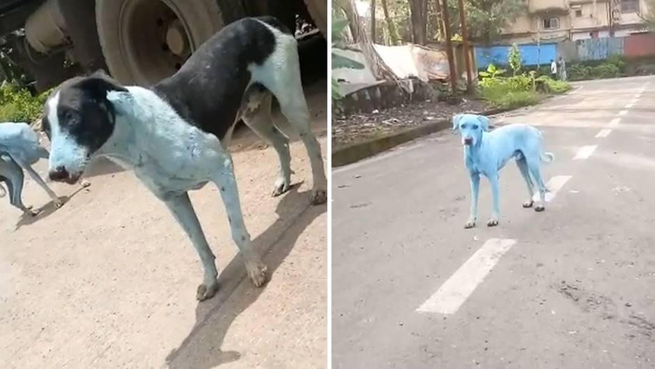 Rätselhafte Videos: Blaue Hunde in Indien entdeckt - der Grund dafür ist traurig