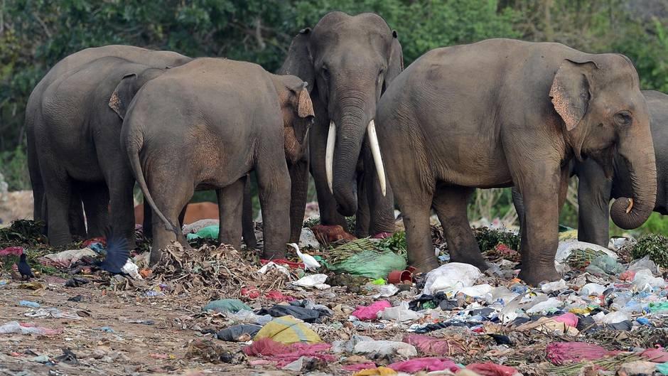Digampathana, Sri Lanka. Diese wilde Elefantenherde durchwühlt eine Müllhalde in einem Dorf auf der Insel Sri Lanka. Dabei sind offene Müllkippen und das Wegwerfen von Abfall in der Nähe von Naturparks in dem Land seit Längerem verboten.