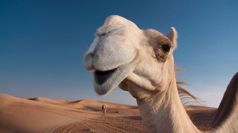 Ein Kamel für Franz Michelberger