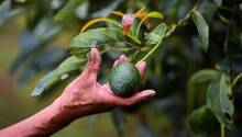 Avocados werden in Neuseeland im großen Stil angebaut. Die Nachfrage reißt seit Jahren nicht ab.