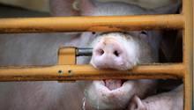 Die Tötung der Tiere wird in englischen Schlachtereien jetzt videoüberwacht