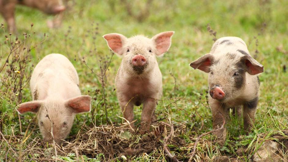 Die Schweinchen auf diesem Foto zumindest sehen glücklich aus (Symbolbild)