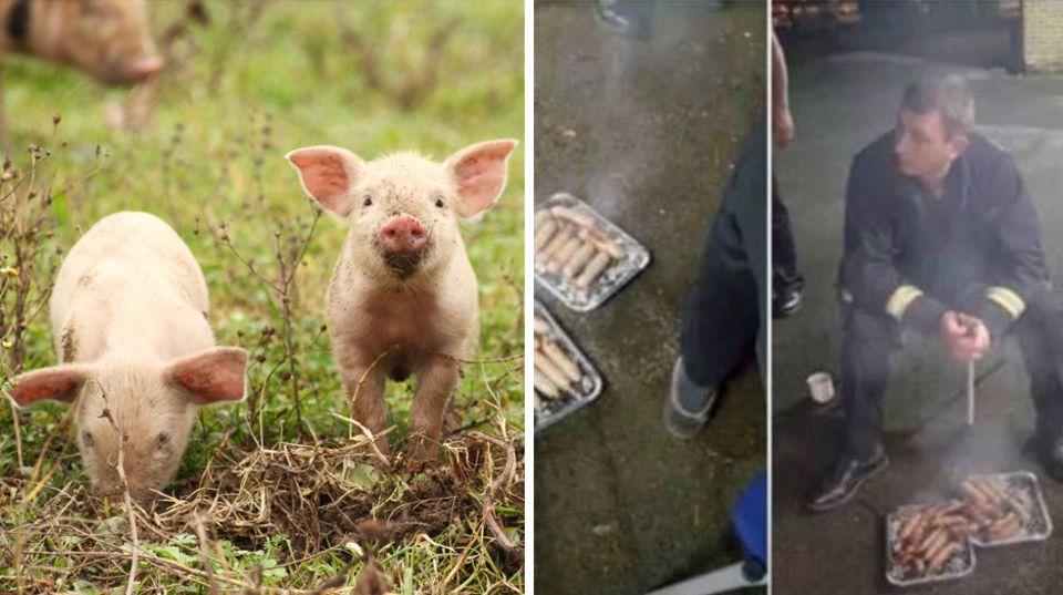 Dankeschön von Landwirtin: Aus den Flammen gerettet, um auf dem Grill zu enden – Feuerwehr verputzt Schweine