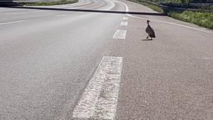 Eine Ente läuft bei Köln über die Autobahn 3