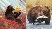 Bären fressen Beeren und Lachs in Alaska