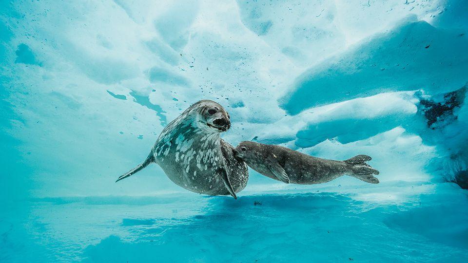 Die gemächlichen Weddellrobben halten sich überwiegend in Küstennähe auf. Sie holen durch Löcher im Eis Luft. Ausgewachsen wird das Jungtier irgendwann so groß wie seine Mutter sein: drei Meter lang und eine halbe Tonne schwer.