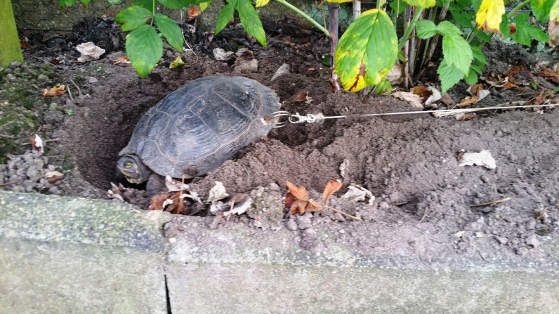 Den Tierschützern zufolge wollte der Besitzer, dass die Schildkröte in seinem Garten Eier legt