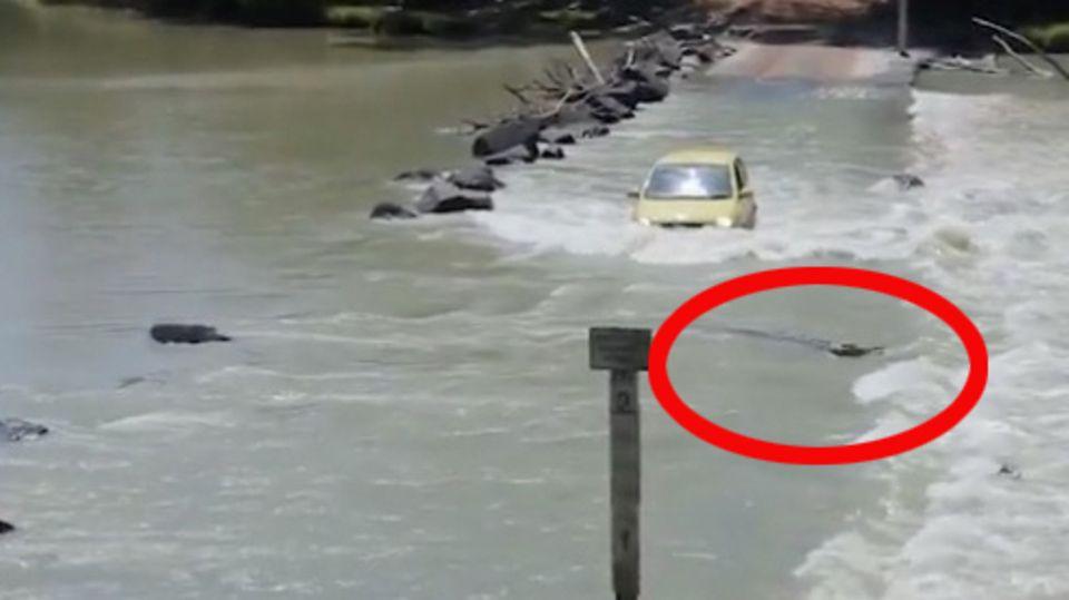 Behörde sucht Freiwillige: Wer traut sich, diesem Krokodil den Reifen abzunehmen?