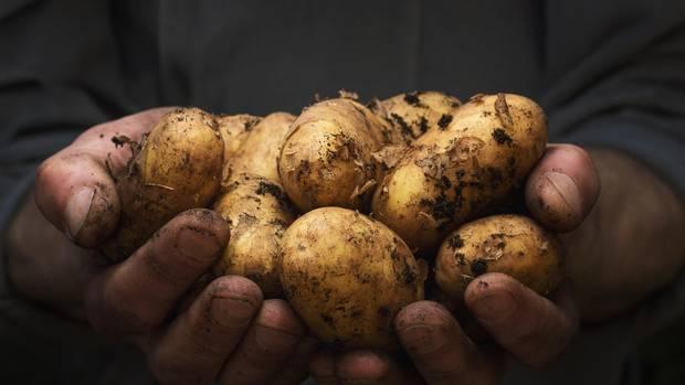 Kartoffeln sollte man waschen, nicht nur, weil sie aus konventionellem Anbau mit Pestiziden belastet sein können, sondern auch, weil sie direkt aus der Erde gegraben werden und daher noch viel Dreck an ihnen klebt.