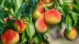 Pfirsiche immer aus biologischem Anbau beziehen.