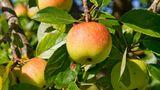 """Laut """"EWG"""" sind 98 Prozent der Äpfel mit Pestiziden belastet. Kaufen Sie auch Apfelsaft und Apfelmus in Bio-Qualität."""