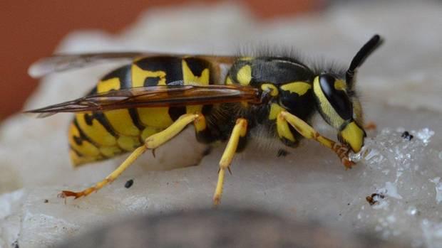schutz vor insekten attacken und stichen das sollten sie ber wespen wissen stern tv. Black Bedroom Furniture Sets. Home Design Ideas