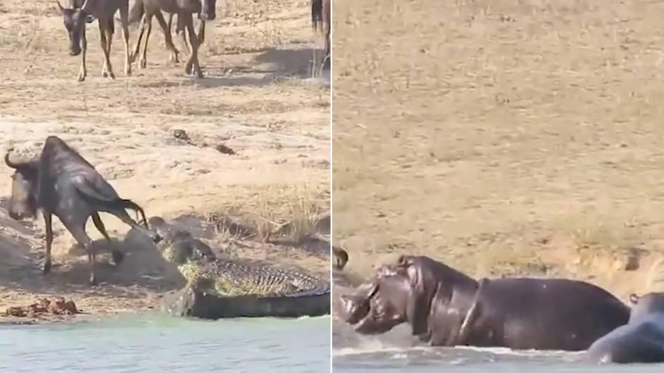 Heldenhaftes Hippo: Krokodil verbeißt sich in Gnu - dann bekommt das Opfer überraschende Hilfe