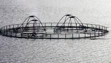 In der Aquakultur schwimmen die Fische im Gehege