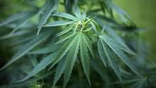 Drogen im Garten: 20 Cannabispflanzen mit einer Größe von bis zu 1,5 Metern gediehen bei der Familie