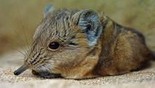 """Eine Maus mit einem Rüssel? Ja, die gibt es und nennt sich """"Rüsselspringer"""". In freier Wildbahn kommen die Tiere in Afrika vor, zu sehen gibt es sie aber auch bei uns in Deutschland - wie hier im Augsburger Zoo.      Mehr Fotos vonmimatin derVIEW Fotocommunity      Aktionen und Informationen aus der VIEW Fotocommunity aufFacebookoderTwitter"""