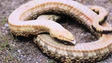 Texas: Diese Schlange leidet eindrucksvoller als Robben und Werner