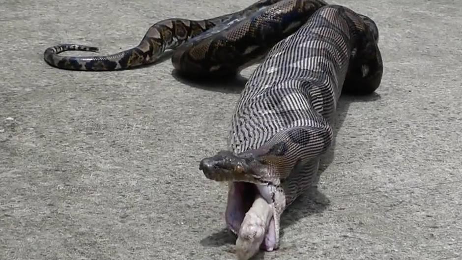 Thailand: Python frisst Katze und speit sie wieder aus