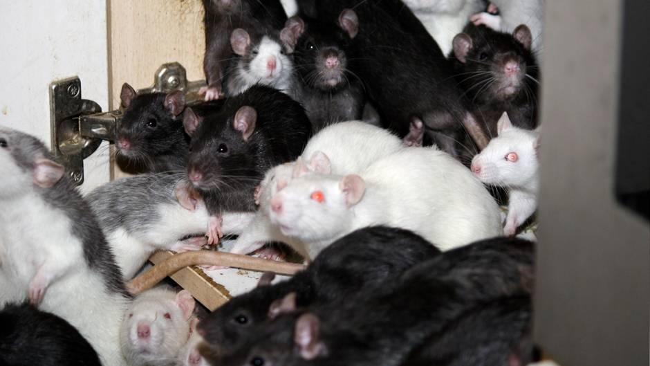 Querschnittgelähmte in Frankreich von Ratten attackiert