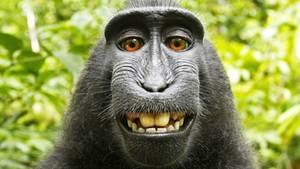 Das berühmte Affen-Selfie von 2011: Schopfmakake Naruto hantiert mit der Kamera und knipst das legendäre Foto