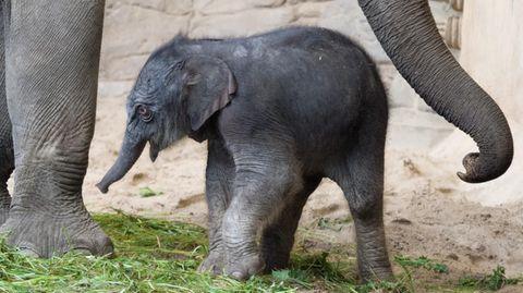 """Das Elefanten-Baby """"Püppi"""" im Tierpark Hagenbeck in Hamburg"""
