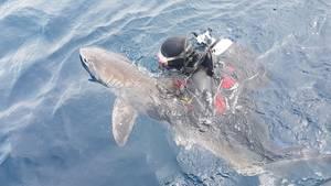 """Weißer Hai """"Fluffy"""" im Wasser vor Sydney"""
