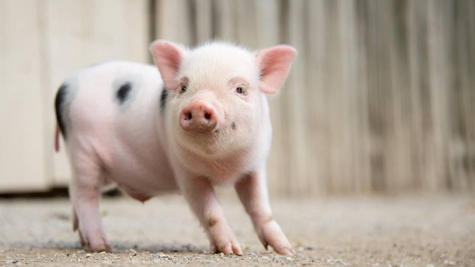 Mini-Schweinchen im Zoo Hannover (Niedersachsen)