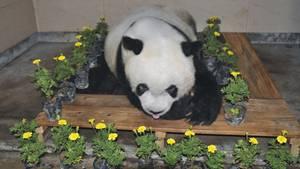Ältester Panda der Welt gestorben - China trauert um Bärin Basi