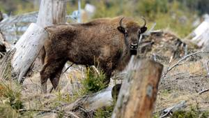 Der Wisent ist das größte und schwerste Landsäugetier in Europa.