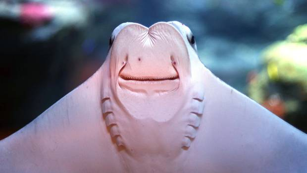 Düsseldorf, Deutschland. Sie, liebe Leser, haben es schon geahnt. Bei diesem Unterwasserviech handelt es sich, na klar, um den Oman-Kuhnasenrochen. Als wüsste er genau, wie man für sich und sein Aquarium Werbung macht, schwimmt der Fisch am Tag der Wiedereröffnung nach vier Jahren Sanierung in seinem Becken umher und zeigt sich von seiner skurrilen Unterseite.