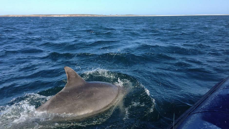 Am liebsten hinterherspringen: Delfine umkreisen das Schlauchboot vor der Küste der Bretagne.