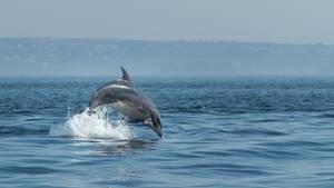 Springender Delfin im Meerespark Iroise in der Bretagne