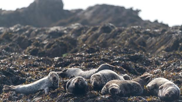 Robben liegen auf den Riffen im Atlantik vor der bretonischen Westküste