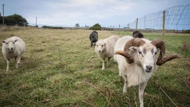 Auf der Île d'Ouessant leben mehr Schafe als Menschen