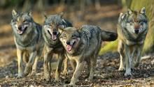 Griechenland - Wolf - Wölfe - Touristin