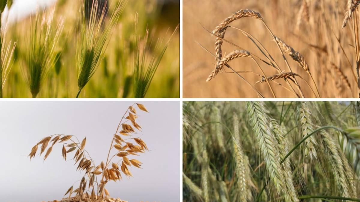 Getreide Unterscheiden
