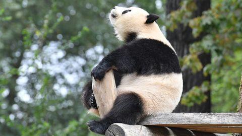 Berliner Zoo Meng Meng