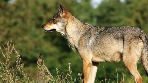 Tierfotografie: Scheue Raubtiere: Deutschlands wilden Wölfen auf der Spur