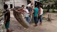 Diese riesige Python biss einem Mann auf der Insel Sumatra fast den linken Arm ab