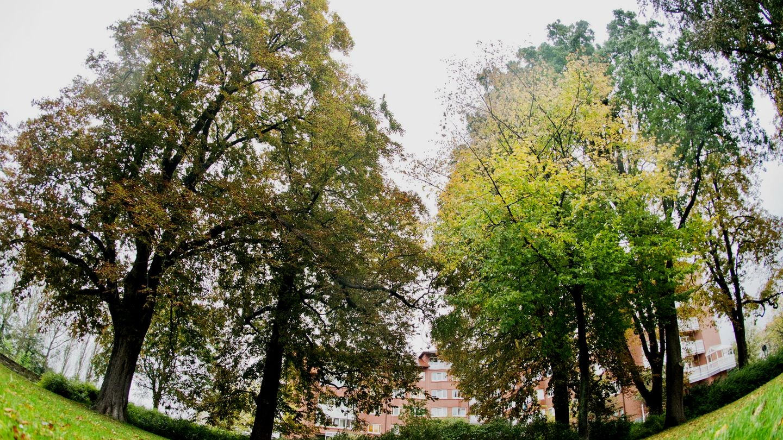 Bäume in Hameln