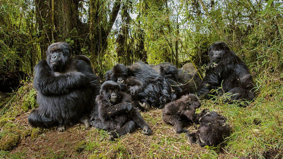 Hätte Dian Fossey die Berggorillas und ihr Habitat nicht so energisch verteidigt, würde es diese Menschenaffen – hier eine Gruppe bei einer Rast am Vulkan Karisimbi – vermutlich nicht mehr geben. Allerdings verprellte die Forscherin mit ihrer kompromisslosen Art auch viele menschliche Nachbarn in den Virunga-Bergen.