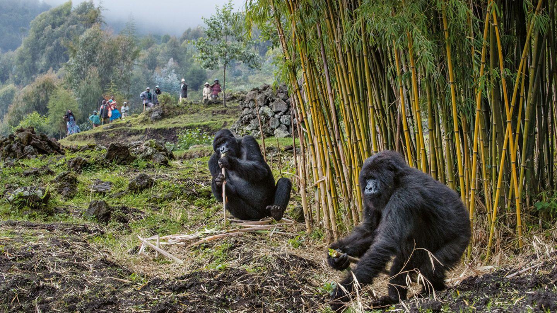 Die Bauern aus dem Dorf Bisate am Vulkan-Nationalpark akzeptieren mittlerweile, dass die Berggorillas den Bambus fressen, der eigentlich als Baumaterial angebaut wird. Einige Gorillas der Titus-Gruppe schlafen manchmal sogar außerhalb des Parks. Die Ausflüge sind riskant für die Tiere: Sie könnten sich bei Menschen und Nutzvieh mit für sie tödlichen Krankheitserregern infizieren.