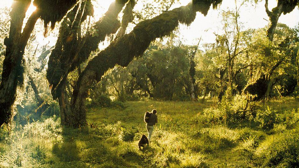 Spaziergang mit Coco und Pucker. Die Gorillababys waren 1969 für den Kölner Zoo gefangen worden und in einem elenden Zustand, als Dian Fossey sie aufnahm. Sie pflegte die Waisen gesund, schließlich wurden sie aber doch nach Köln gebracht.