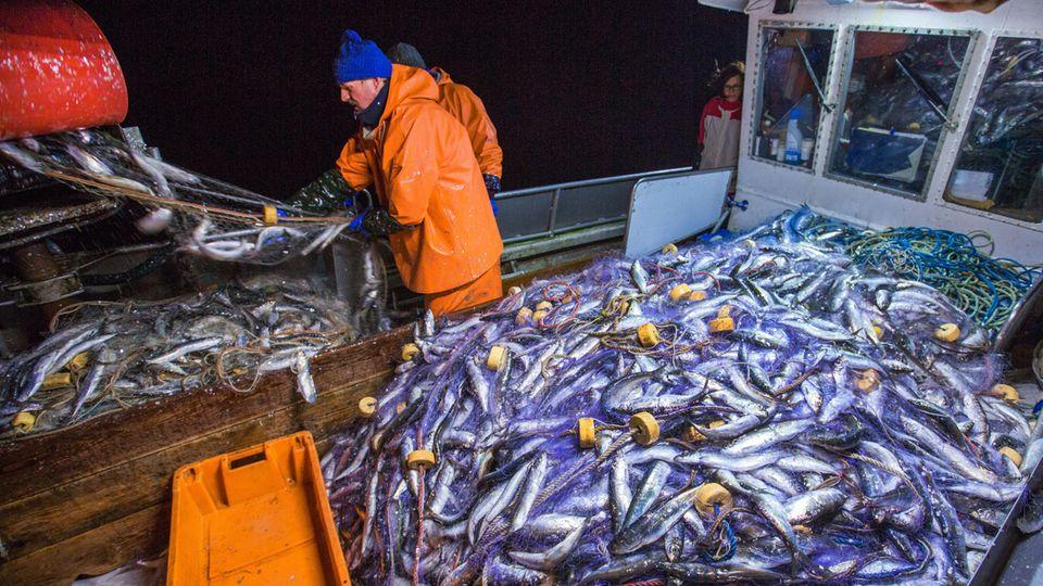 Fischer holen ihre Stellnetze mit Hering aus der Ostsee