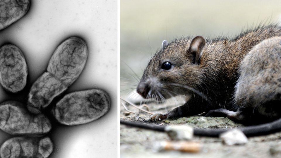 Der Erreger der Pest ist Yersinia pestis, ein Bakterium.