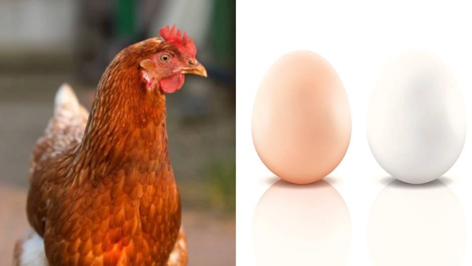Weiß oder braun?: Dieses Körperteil eines Huhns verrät die Eierfarbe