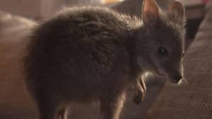 Inzwischen ist Känguru Hope siebeneinhalb Monate alt und putzmunter. Die Kleine wird auch immer neugieriger und verlässt manchmal sogar die schützende Jacke von Rosi Fußbahn, die das Känguru-Baby den lieben langen Tag mit sich herum trägt.     Die ganze Geschichte von Hope und seinem außergewöhnlichen Start ins Leben und die zauberhaften Bilder eines Baby-Kängurus auf großem Fuß sehen Sie am Mittwochabend bei stern TV.
