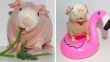 Pim, das Nacktmeerschweinchen