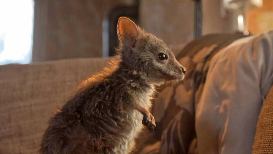 Inzwischen putzmunter: Känguru-Baby Hope erkundet neugierig das Wohnzimmer der Fußbahns.