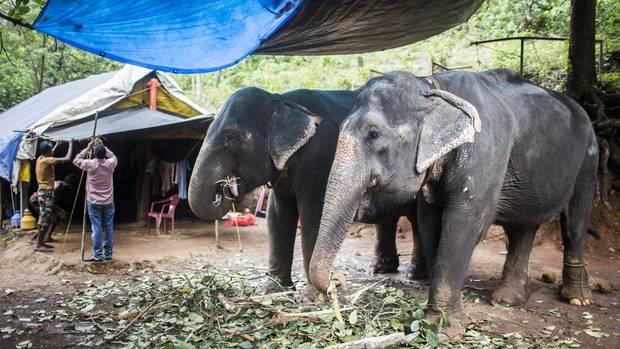 Indische Elefanten in einer Gewürzfarm